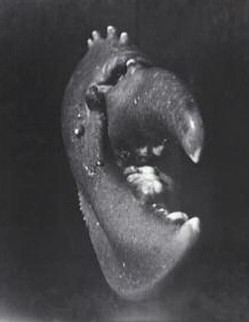 Jean Painlevé Pince de homard (Lobster Claw), Brittany, 1929 Gelatine silver print, original print 62,7 x 50,4 cm Centre Pompidou, Musée national d'art moderne © Adagp, Paris 2009 © Collection Centre Pompidou, Paris, Diffusion RMN. Photo : Jacques Faujour